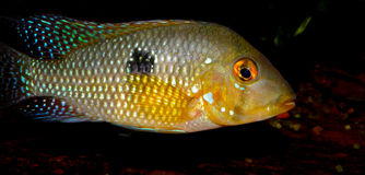 Cichlid from America Stock Photos