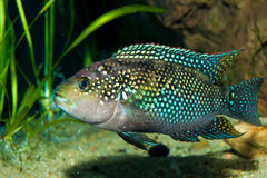 Cichlid in Aquarium Royalty Free Stock Images