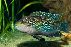 Cichlid in Aquarium Royalty Free Stock Images