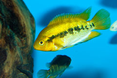 Cichlid in Aquarium Stock Photos