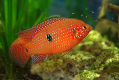 Cichlid in the aquarium Royalty Free Stock Photos