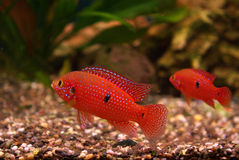 Cichlid in the aquarium Stock Image