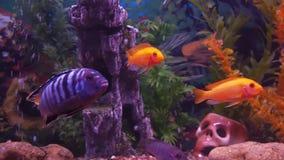 A cichlid aquarium. stock video footage