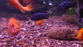 A cichlid aquarium. stock footage