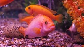 A cichlid aquarium. stock video