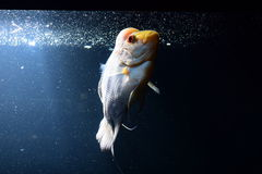 Cichlid Royalty Free Stock Photo