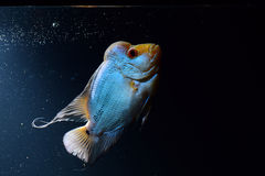Cichlid Stock Photos