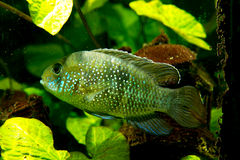 Cichlid Royalty Free Stock Images
