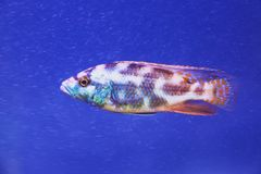 Cichlid blue fish in aquarium close up royalty free stock photography