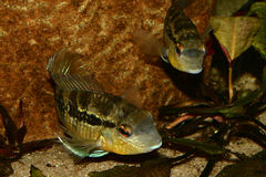Cichlid (Bujurquina spec.) Stock Photography