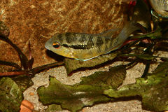 Cichlid (Bujurquina spec.) Royalty Free Stock Photo