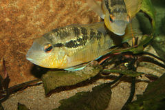Cichlid (Bujurquina spec.) Royalty Free Stock Photography