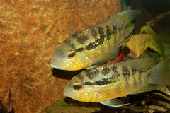 Cichlid (Bujurquina spec.) Royalty Free Stock Images