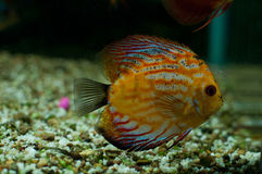 Cichlid cichlid. The photo was made with the Aquarium Stock Image