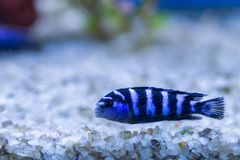 Cichlid or Cichlidae blue tropical fish in aquarium. African Cichlid endemic to Malawi in blue tropical fish Cichlidae family. Co. Lorful blue tropical cichild royalty free stock images