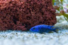 Cichlid or Cichlidae blue tropical fish in aquarium. African Cichlid endemic to Malawi in blue tropical fish Cichlidae family. Col. Orful blue tropical cichild royalty free stock images