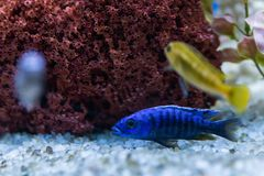 Cichlid or Cichlidae blue tropical fish in aquarium. African Cichlid endemic to Malawi in blue tropical fish Cichlidae family. Col. Orful blue tropical cichild stock photography