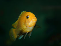 Cichlid Royalty Free Stock Photos