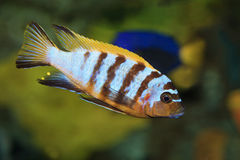 Cichlid Royalty Free Stock Image