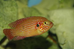 Cichlid coloré rouge photo stock