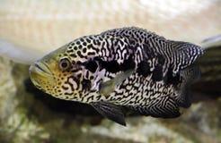 Cichlid del jaguar Imagen de archivo