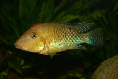 Cichlid do Redhead (steindachneri de Geophagus) Imagens de Stock