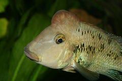 Cichlid do Redhead (steindachneri de Geophagus) Imagem de Stock Royalty Free