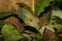Cichlid do Redhead (steindachneri de Geophagus) Fotos de Stock