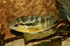 Cichlid (espec. de Bujurquina.) Imagenes de archivo