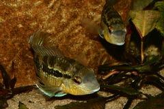 Cichlid (especs. de Bujurquina.) Fotografia de Stock