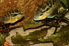 Cichlid (especs. de Bujurquina.) Fotografia de Stock Royalty Free