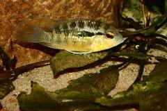 Cichlid (especs. de Bujurquina.) Imagens de Stock Royalty Free