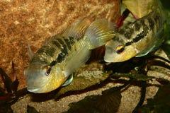 Cichlid (especs. de Bujurquina.) Imagem de Stock