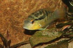 Cichlid (especs. de Bujurquina.) Imagem de Stock Royalty Free