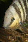 Cichlid Eyed azul (spilurus de Cryptoheros) Fotos de Stock Royalty Free