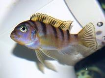Cichlid fêmea de Kenyi (BEBÊ) Imagens de Stock
