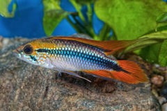 Cichlid fish Apistogramma agassizii in a aquarium royalty free stock photography