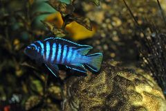 Cichlid fish in aquarium. Blue male cichlid fish in aquarium Stock Images