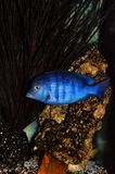 Cichlid fish in aquarium. Blue dolphin-like cichlid fish in aquarium Royalty Free Stock Images
