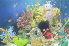 Cichlid fish in aquarium Royalty Free Stock Photos