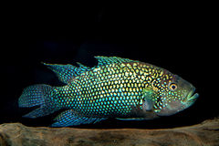 Cichlid fish Stock Photos