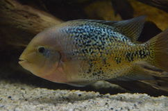 Cichlid fish Royalty Free Stock Images