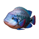 Cichlid fish Stock Photography