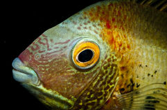 Cichlid fish head Royalty Free Stock Photography