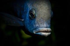 Cichlid fish head Stock Photos