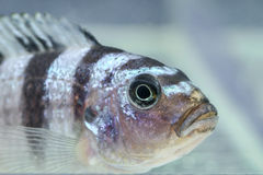 Cichlid fish Royalty Free Stock Photography