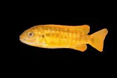 Cichlid fish Melanochromis sp. on a black background Royalty Free Stock Photos