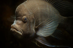 Cichlid Fish Royalty Free Stock Image