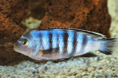 Cichlid fish underwater Royalty Free Stock Photo