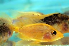 Cichlid giallo Immagine Stock Libera da Diritti
